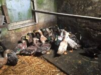 Ducks for sale call 07753160253