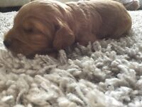 Cockerpoo red puppy for sale, boy, F1