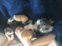 black /tan yorkie/jack russell puppy