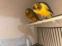 pair yorkshire canary