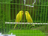 rare yellow baby budgies pair, red eyes and cute little birds. do not bite