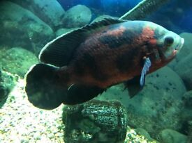 2 large tropical fish for sale