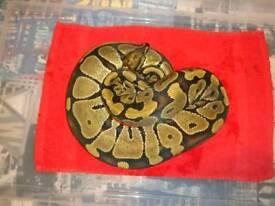 Royal Python - Female