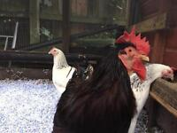 5 beautiful chickens for sale