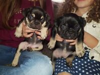 Beautifal kc registered french bulldog puppies