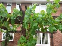 Grape vines well established x3
