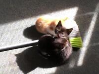 Kitten for sale, only £45