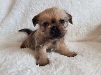 Pug x Shih Tzu Puppies (Shug)