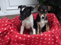 Jack Russell cross puppies for sale Black/white and black/brown/white combinations