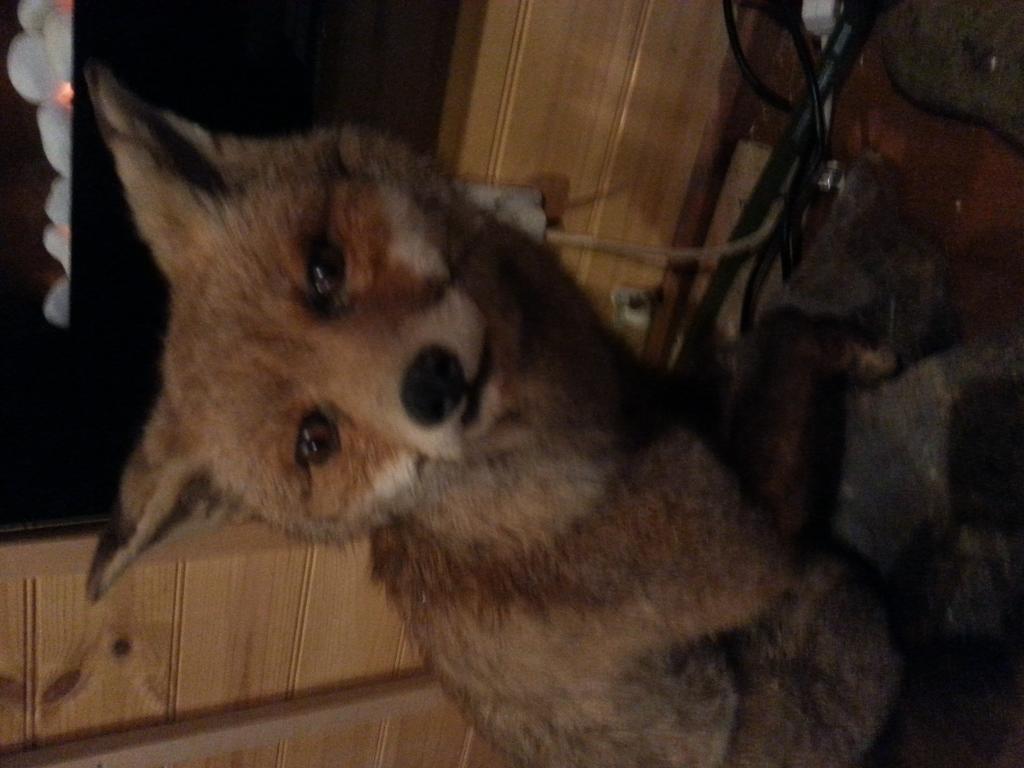 badger fox