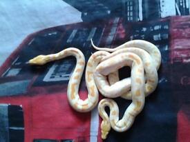 Albino Burmese python for sale