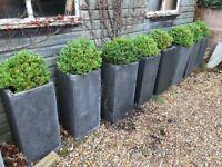 Box shrubs