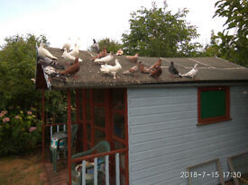 we have some quality pigeons for sale. they are ready to go. if interested call me please.