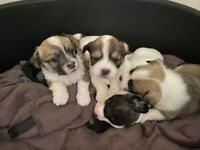 Boston Terrier Cross Jack Russel puppies for sale 🐶