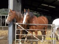 2 Lovely Clydesdale X Sports Horse Youngsters
