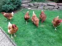Chickens 6 x Goldlines For Sale To Good Free Range Home