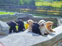 Gorgeous Labrador Pups