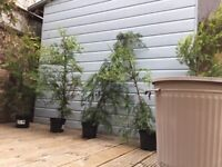 Five approximately 2ft high Conifer Trees.