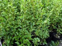 10 x large Griselinia hedging trees see details Please