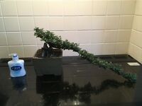 Bonsai Tree Large Cotoneaster Cascade style