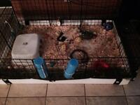 Breeding pair of guinea pigs