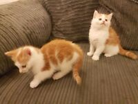 BEAUTIFUL GINGER AND WHITE KITTENS, READY FROM. NEXT WEEK