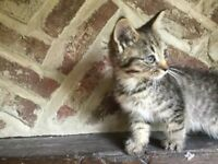 Three lovely kittens for sale: reduced to £30.00 each.