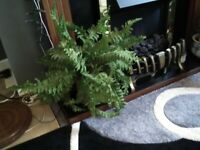 Artificial silk plants,Ferns,3in total,two in ceramic chamber pot smoke free home.