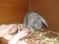 bonded pair of rabbits a year old
