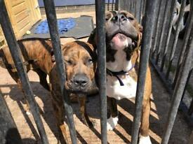 Cute pair of Bulldog/Cane Corso puppies dogs With free outdoor kennel and dog food ready to go