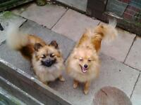 Pomeranian puppies and 18 month old girl
