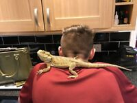 Male Bearded Dragon with viv and accessories