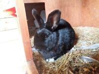 Alaska/Havana Rabbit in Black with White Paws