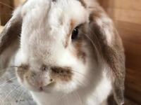 Large lop eared rabbit with hutch
