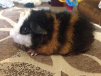 Teddy and smooth Guinea pigs