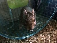 2 male degus including cage, food, bedding toys etc.