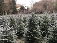 Fresh Christmas Trees - Free Delivery - locally grown