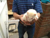 For sale purebred albino ferrets, boys and girls, albinos. Waiting for a good host and a new home