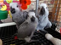 Baby African Grey Parrots PBFD TESTED Ready To Go Now.
