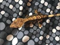 Female crested gecko + setup