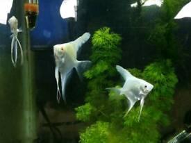 Platinum albino Angelfish