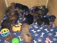 11 beautiful Rottweiler X Rhodesian Ridgeback puppies for sale