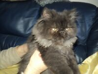british shorthair x persian kitten