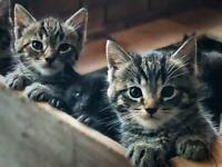 Bengal Ragdoll mix kittens
