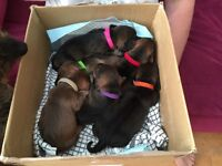 Dachshund (Wire-Haired) 4 Boys available , from good stock, and well socialised.