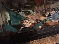 Very cute Leopard Gecko and full setup for sale