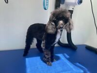 Female toy Poodle pup age 7 months