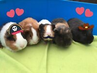 Guinea pigs for sale - Only 2 left!