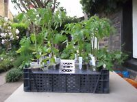 TOMATO PLANTS, MONEY MAKER / GARDENERS DELIGHT.
