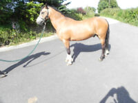 Beautiful dun welsh section A pony